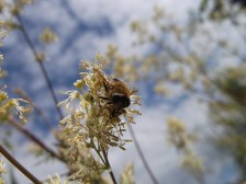 Hoverfly in Radstock garden - D Porter
