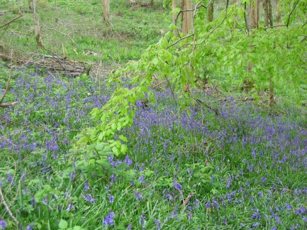 Bluebells in Greyfield Wood