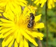 Common furrow-bee, Lasioglossum calceatum - Deborah Porter