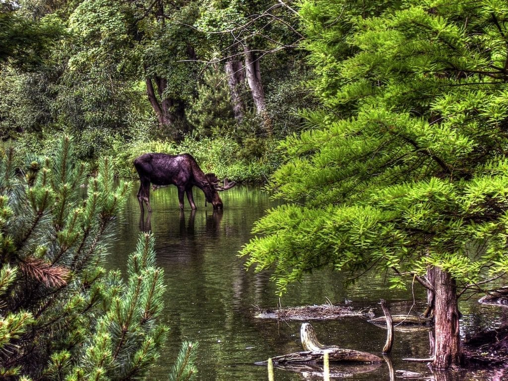 moose near water