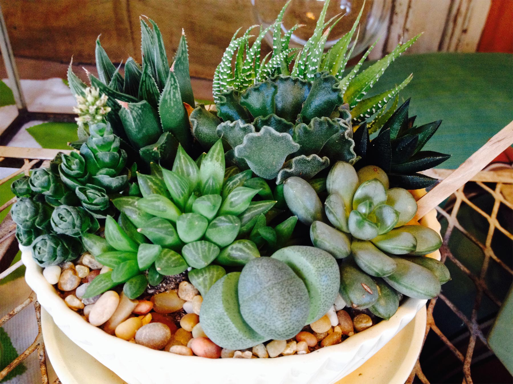 Succulents for Interior or Shade