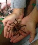 tarantula being held in hands