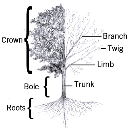Diagram How An Apple Grows, Diagram, Free Engine Image For