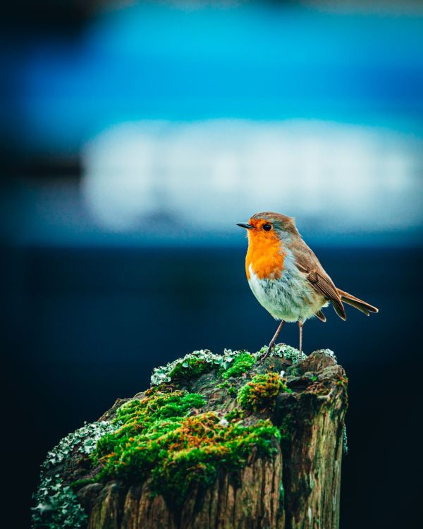 C Whyte Photography - Red Robin