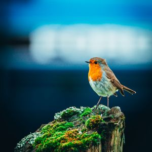 C Whyte Photography - Red Robin robin redbreast bird Robin Redbreast – FREE Downloadable Images C Whyte Photography Red Robin 2