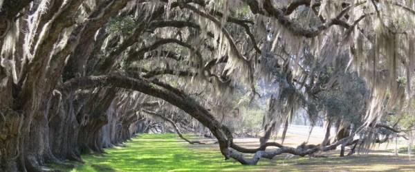 tomotley-plantation-oaks