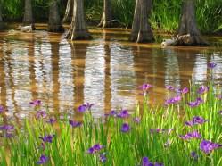 irises two