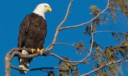 wetland american eagle 1