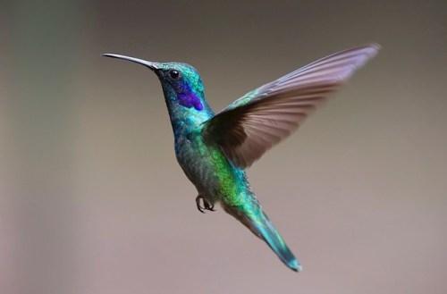 A hummingbird or Hummingbird from Google