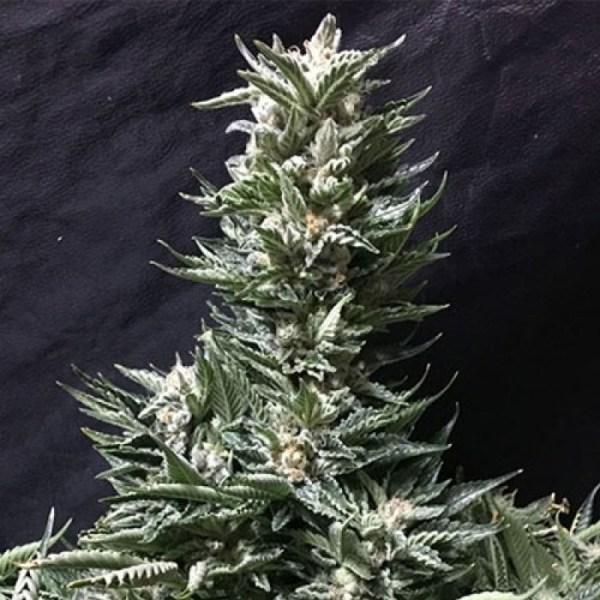 Bruce Banner FAST Feminized Seeds (Bulk Seeds) - ELITE STRAIN