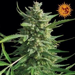 Critical Kush Feminized Seeds (Barney's Farm)