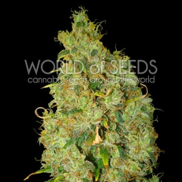 Northern Lights x Skunk Feminized Seeds (World of Seeds)