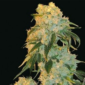 Northern Lights Feminized Seeds (Bulk Seeds)