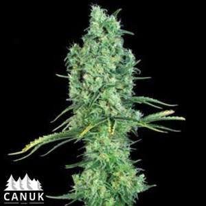 OG Kush Auto Feminized Seeds (Canuk Seeds)