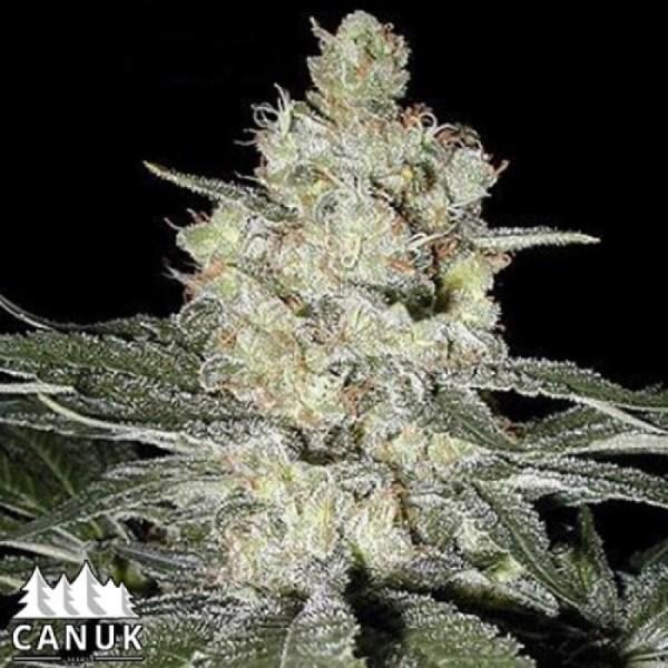 Original Skunk #1 Feminized Seeds (Canuk Seeds)