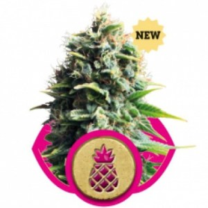 Pineapple Kush Feminized Seeds (Royal Queen Seeds)