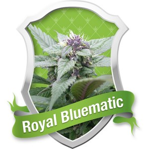 Royal Bluematic Automatic Feminized Seeds (Royal Queen Seeds)