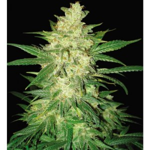 Sweet Coffee Ryder Autoflowering Feminized Seeds (World of Seeds)