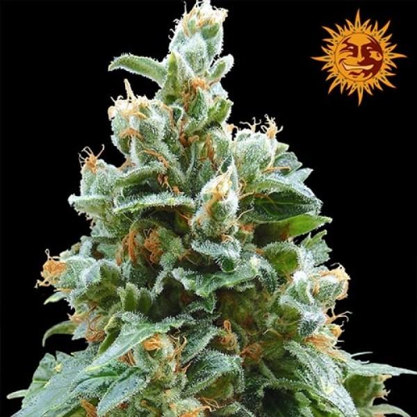 Vanilla Kush Feminized Seeds (Barney's Farm)