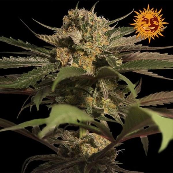 Violator Kush Feminized Seeds (Barney's Farm)