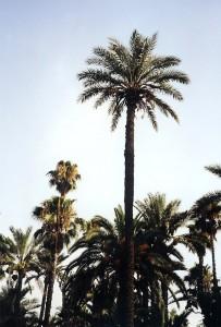 Palmier marocain