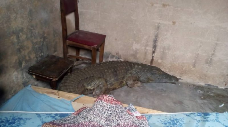 Jaws Drop As Giant Crocodile Is Found Inside Headmaster's Bedroom-iHarare