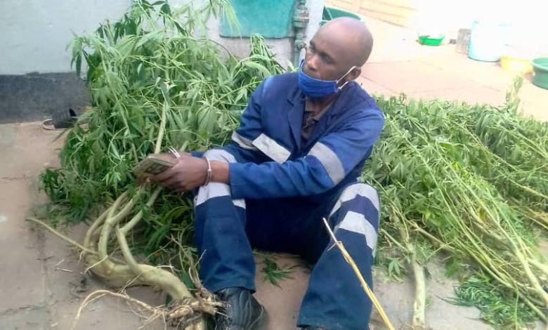 Mbanje Farmer Nabbed For Growing The Herb In His Backyard