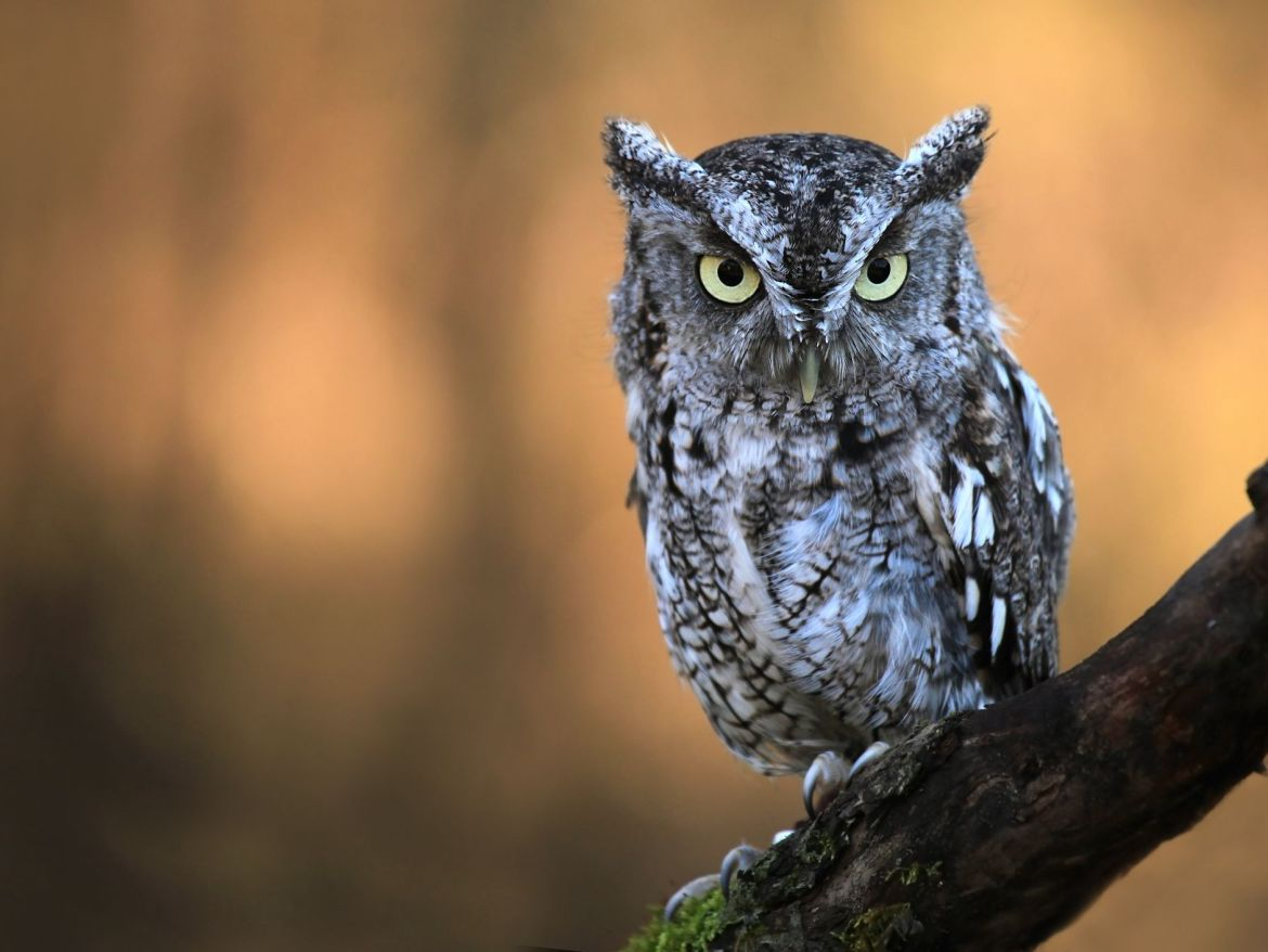 Witchcraft Scare As Owl Causes Chaos At A Funeral
