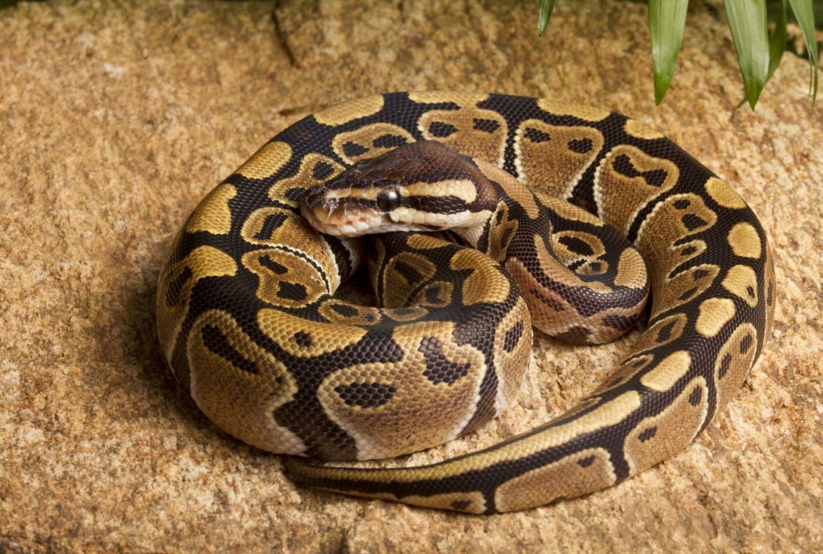 Prophet Jailed 36 Months After He Was Found In Possession Of A Python He Used To Fake Miracles