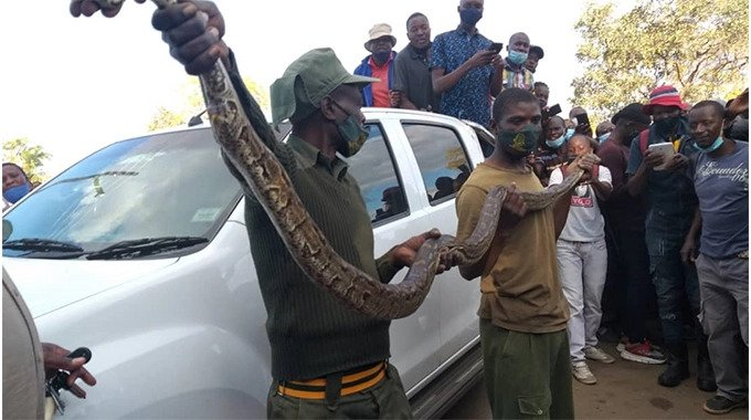 """""""The Snake Is Not Mine""""- Kwekwe Python Man Speaks Out Following Arrest-iHarare"""