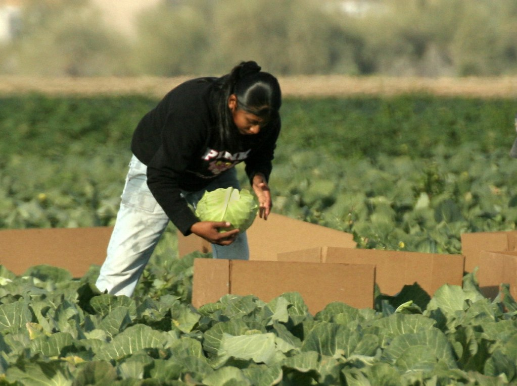 UK Offers Cabbage, Broccoli Pickers US$84,000 Salary As Brexit Results In Massive Staff Shortages