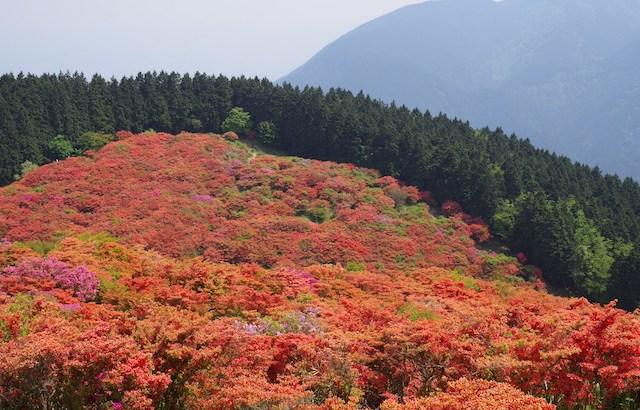 奈良御所市 葛城山のツツジを見に行ってきました。