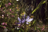 Camas Lillies on the chasm