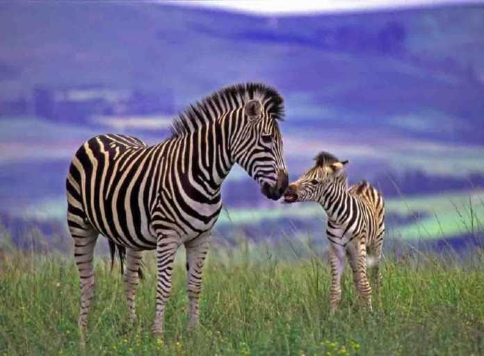 Epic Animal Wallpapers Mommy Zebra Gets Revenge On Baby S Attacker