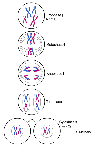 meiosis 1 diagram 2000 lincoln ls engine life sciences cyberbridge