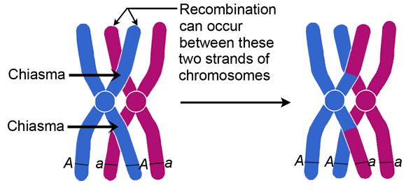 6 chromosomes crossing over diagram telephone wiring in meiosis, how does prophase i differ from ii? | socratic