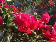 Bougainvillea glabra, más conocida como Flor de papel. El nivel de detalle y el efecto de desenfoque conseguido son excelentes.