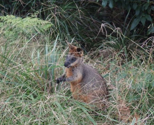 Here's a picture of my first wallaby. I'm not sure how they are different from kangaroos except for their colorings.