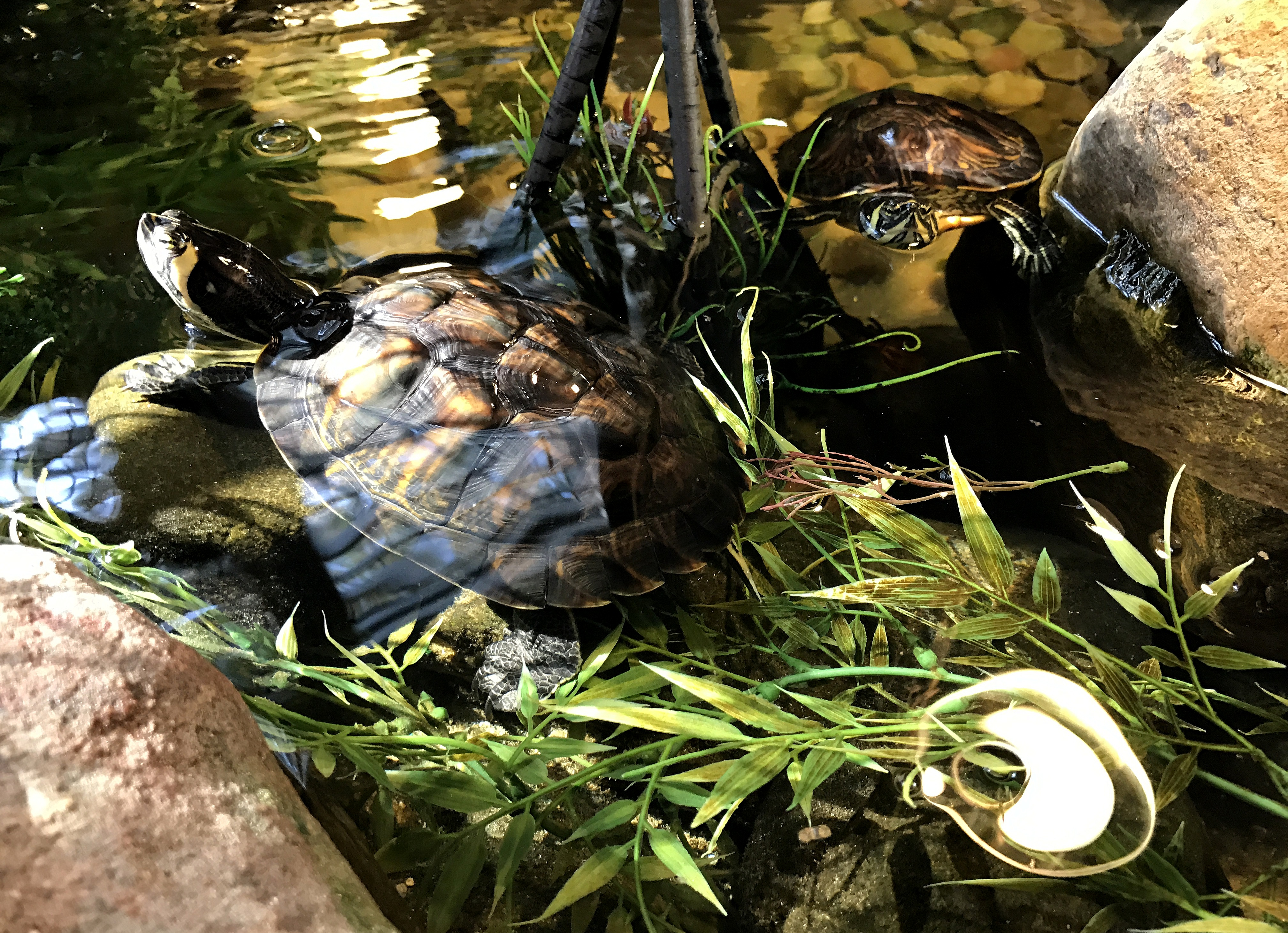 YBST ~ Yellow Bellied Slider Turtles–Quarterly Update, 10/21
