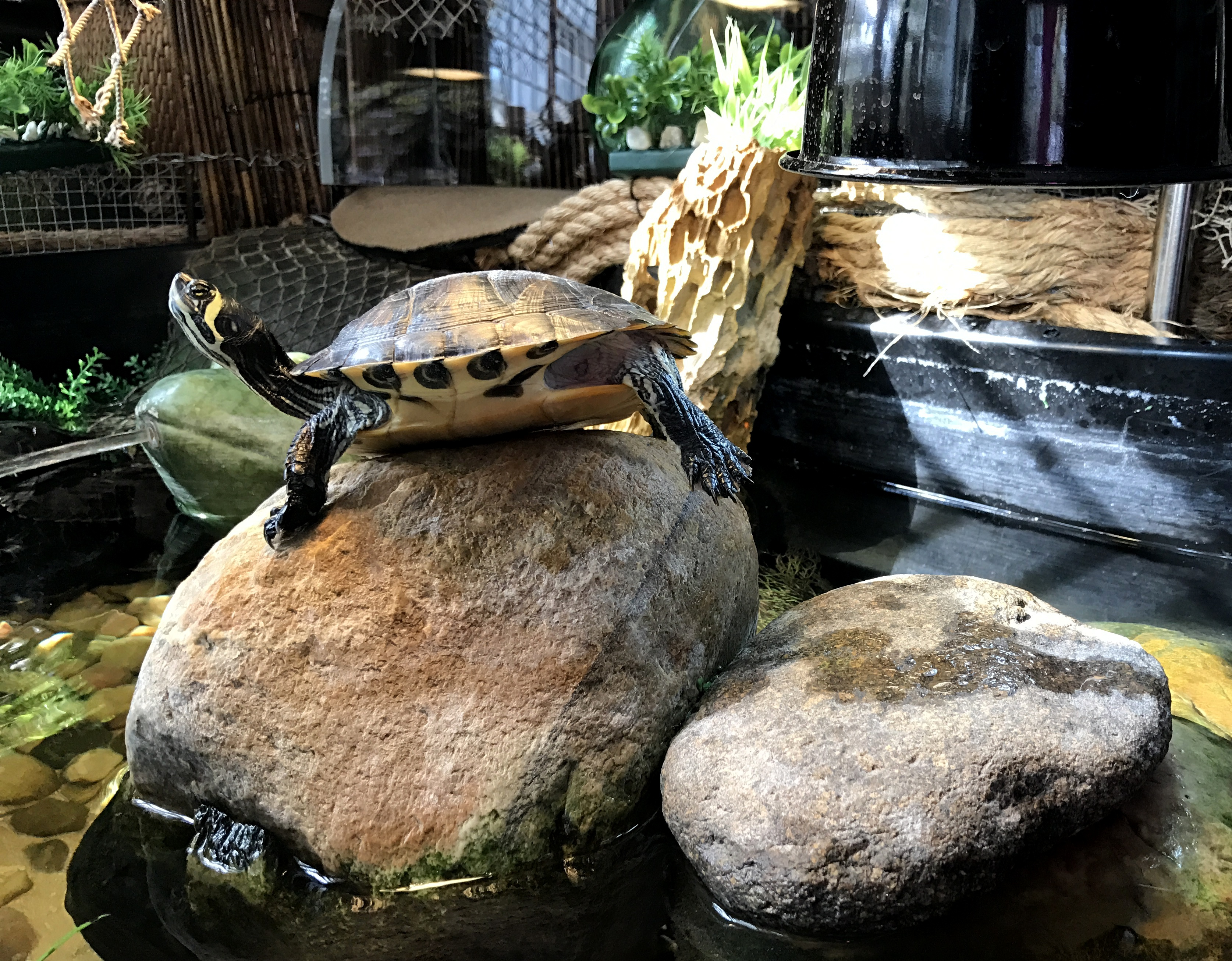 YBST ~ Yellow Bellied Slider Turtles–Quarterly Update [Slideshow], 10/22