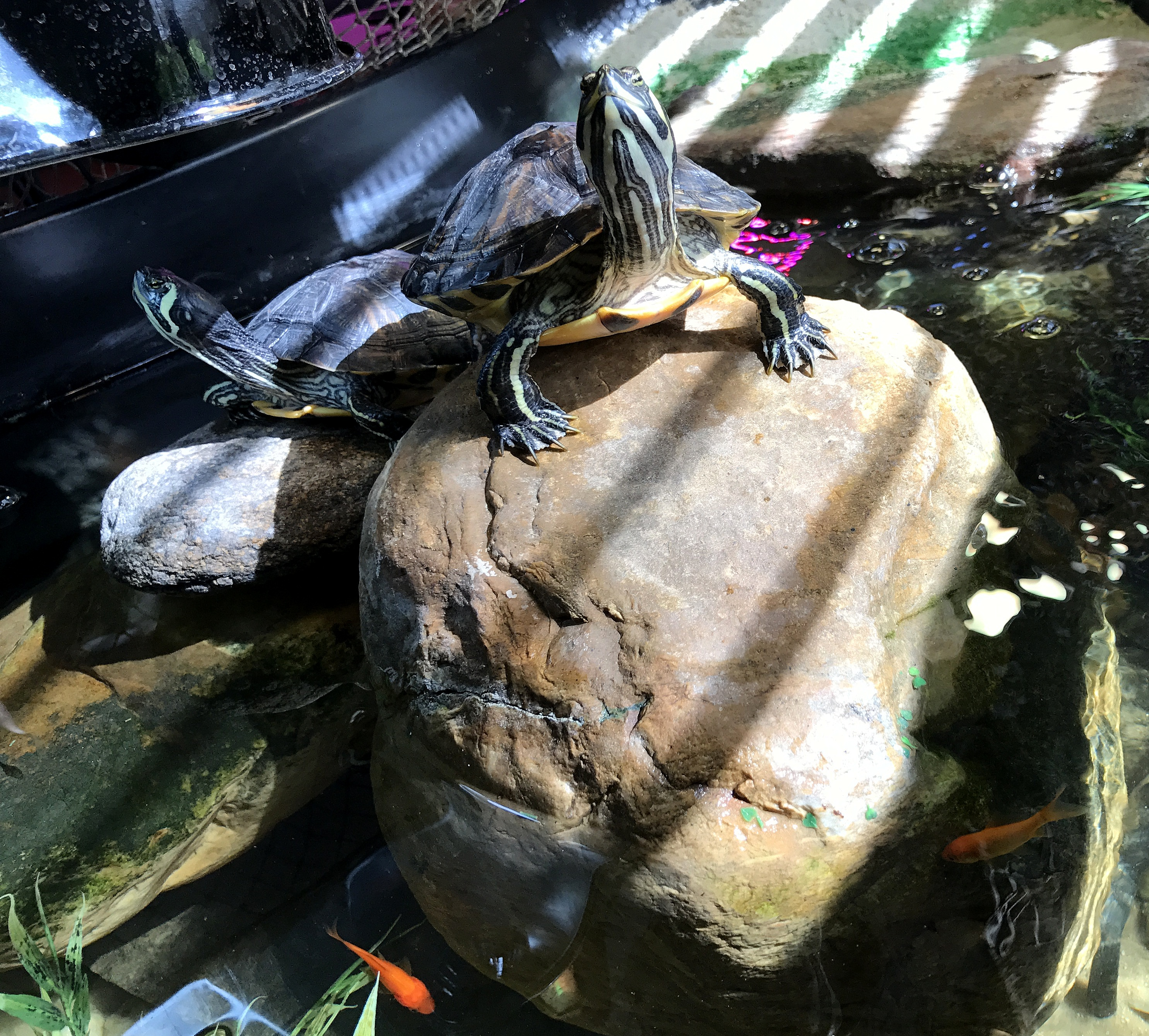 YBST ~ Yellow Bellied Slider Turtles–Quarterly Update, 10/25