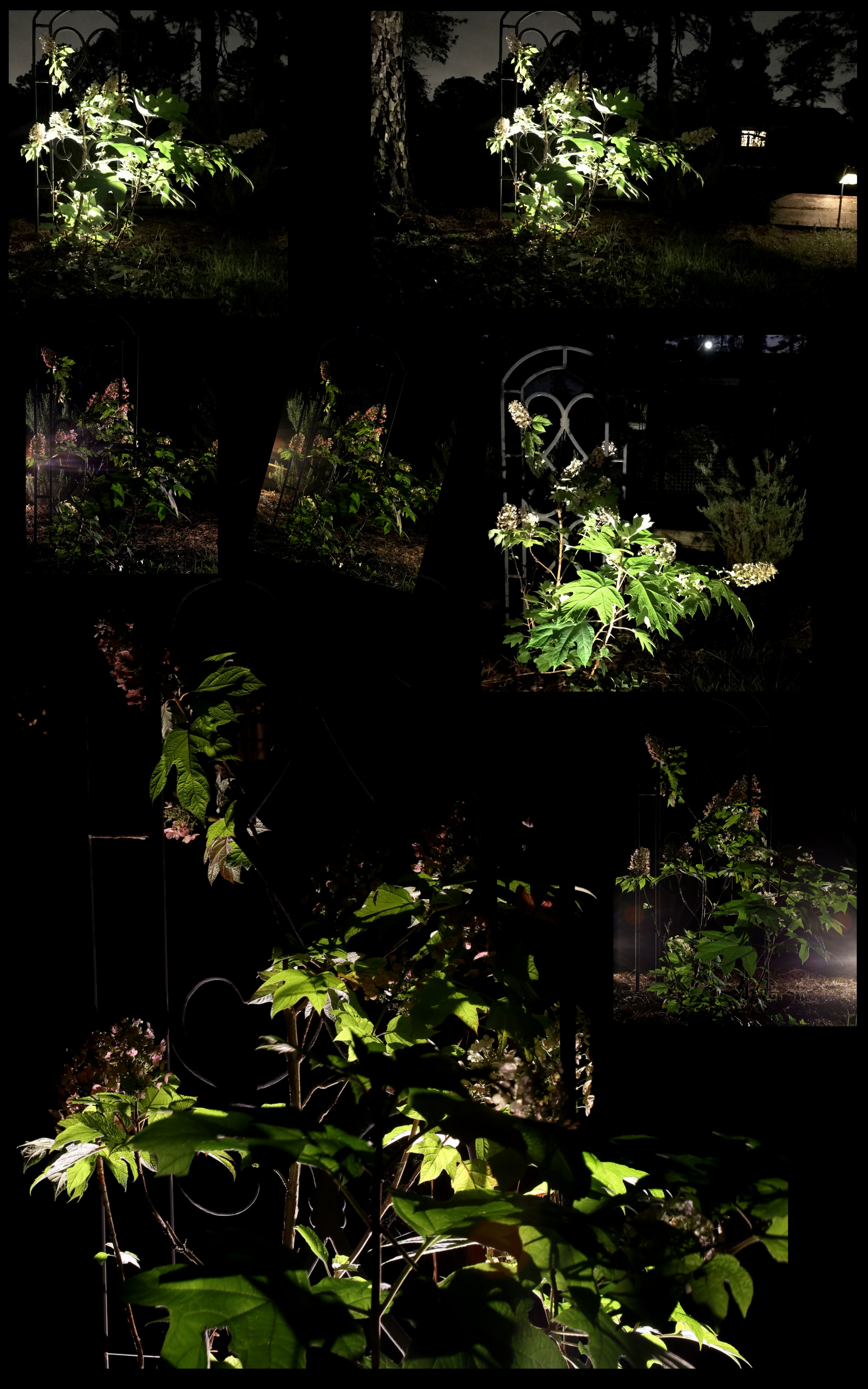 Photography ~ Backyard Landscaping–A Trellis & Oakleaf Hydrangea After Dark Collage & Slideshow, 05/24 & 05/27