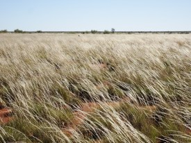Spinifex fields. It really did rain recently.