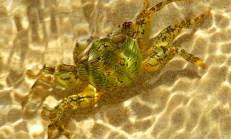 Green crab underwater