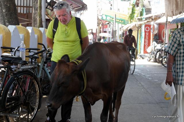 La vache et le cyclomigrateur