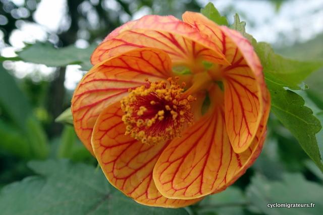 Fleur du Kerala