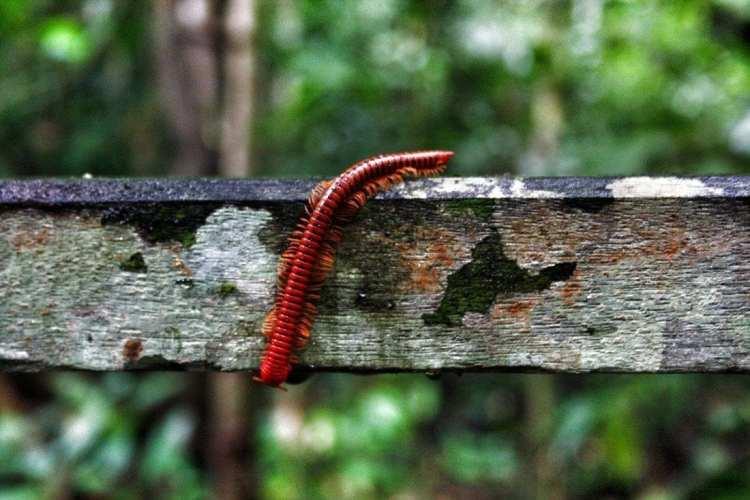 Borneo fauna Niah Insetti