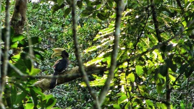 Rhinoceros Hornbill Brunei Borneo