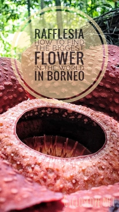 Rafflesia Borneo