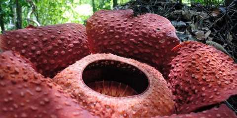how to find a rafflesia gunung gading national park Kuching sarawak